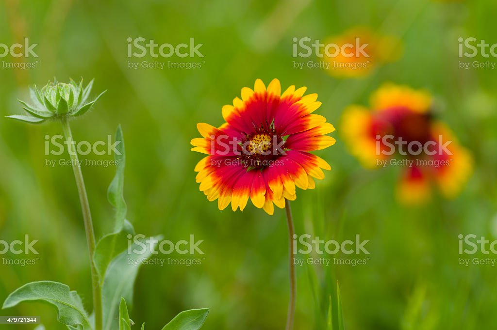 Indian blanket flower in the summer garden stock photo