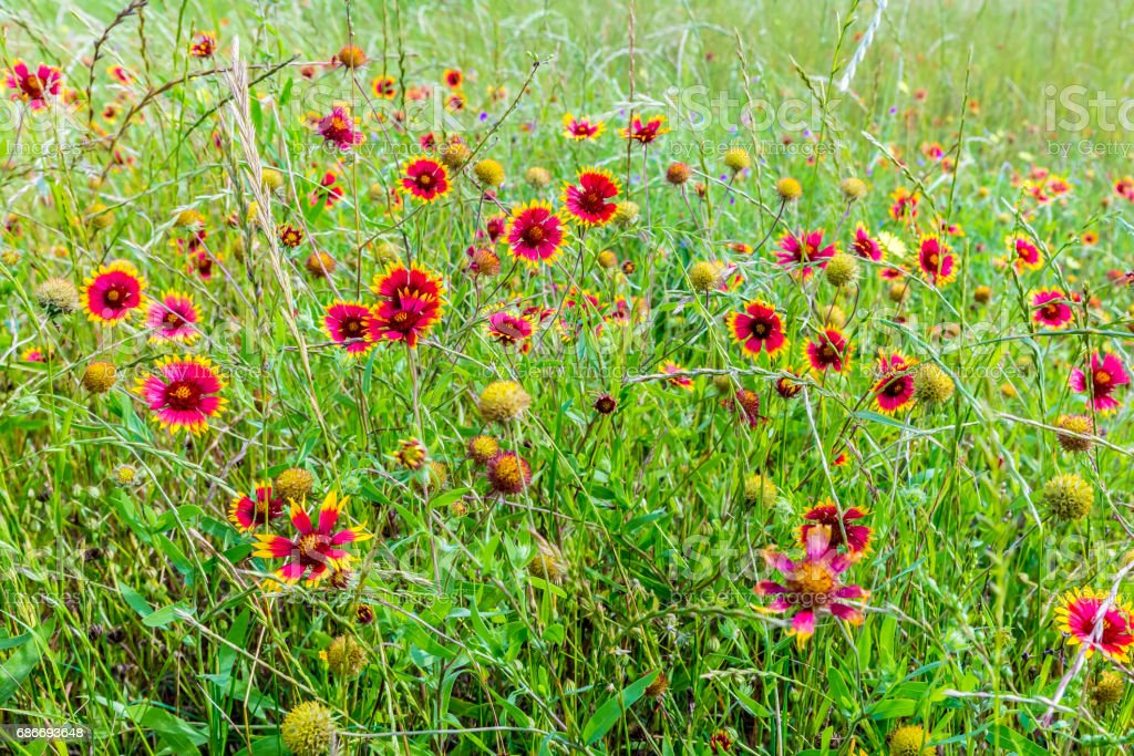 Indian Blanket Wildflowers in Texas stock photo