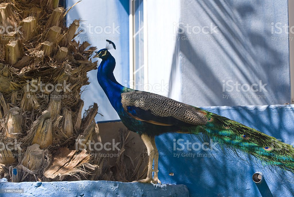 Indian Blue Peacock (Pavo Cristatus) stock photo