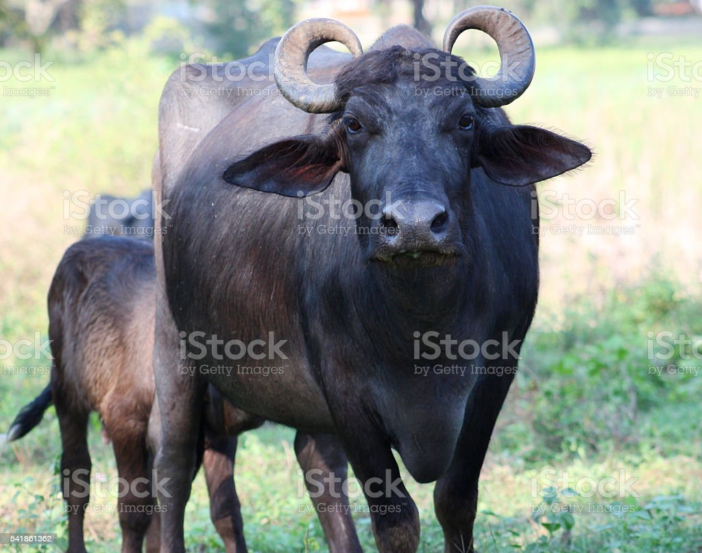 Indian Buffalo in Sri Lanka - foto stock