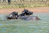 Indian Buffalo in river in Kerala, India