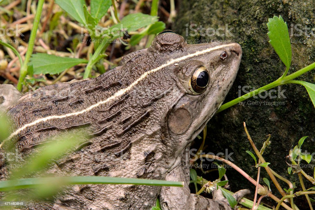 Indian Bull Frog royalty-free stock photo