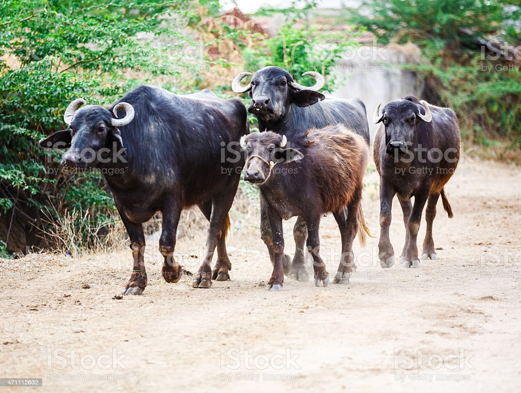 Indian cattle stock photo
