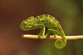Indian Chameleon, Chamaeleo zeylanicus, Bandipur National Park, Karnataka, India.