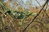 indian Chameleon on tree branch