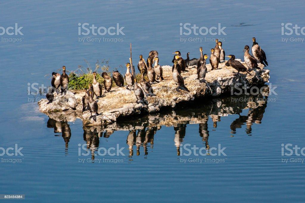 Indian Cormorants stock photo