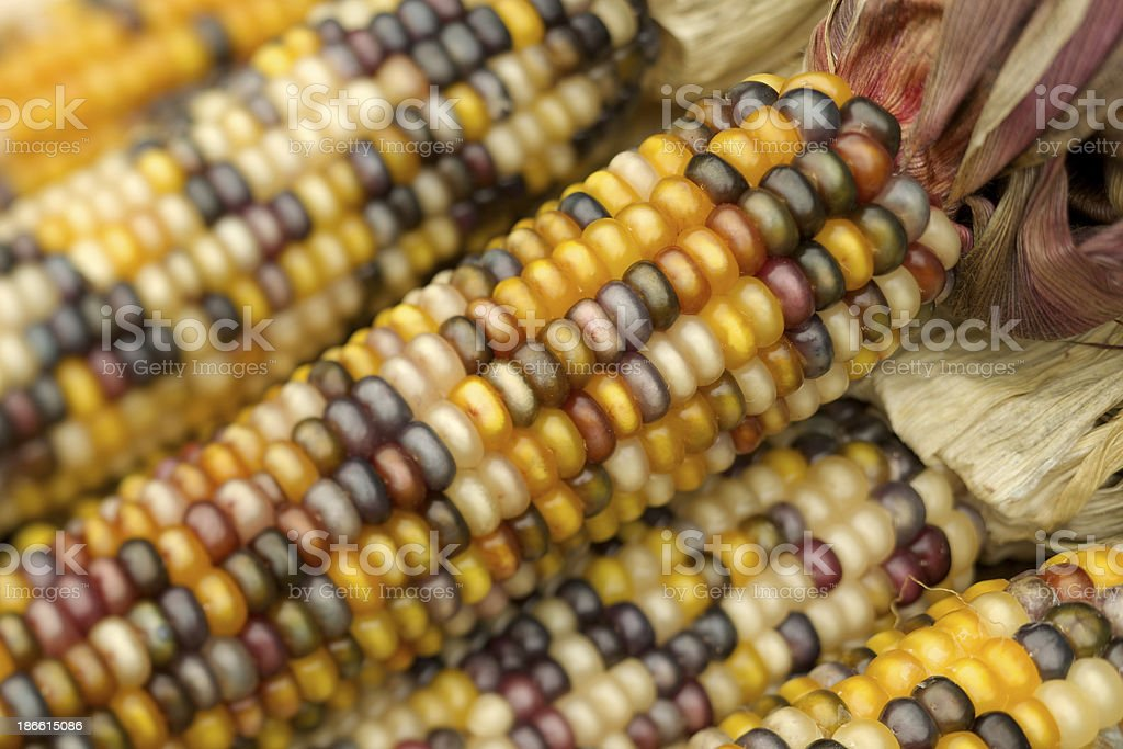 Indian corn cobs and husks royalty-free stock photo