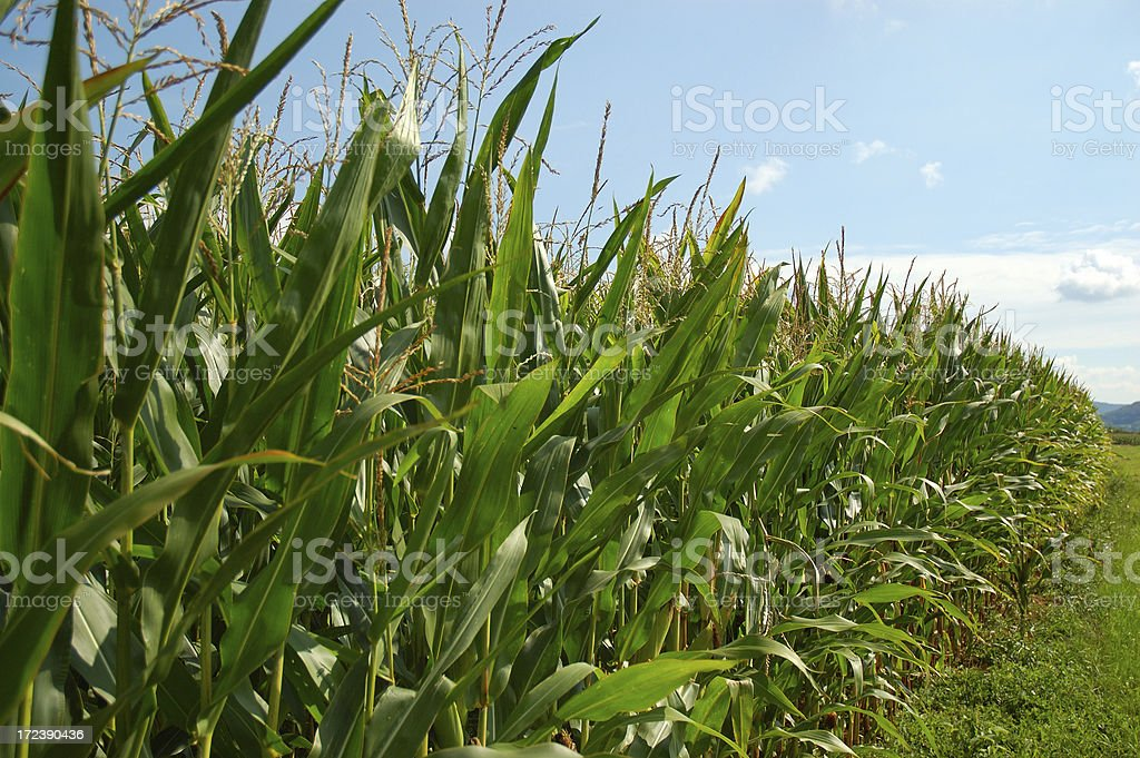 Indian Corn Field royalty-free stock photo