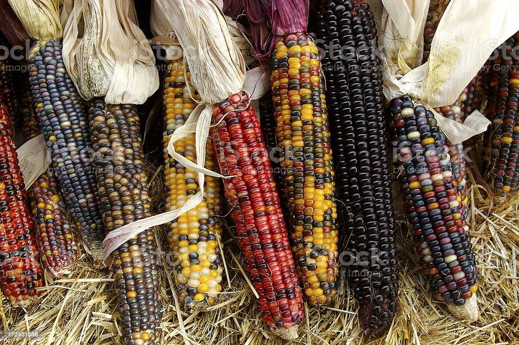 Indian Corn in Fall stock photo