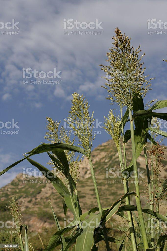 Maíz criollo (maíz foto de stock libre de derechos