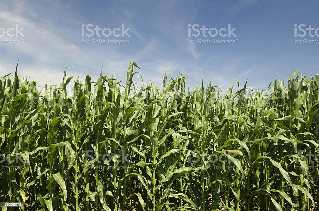 Indian Corn Summer Landscape royalty-free stock photo