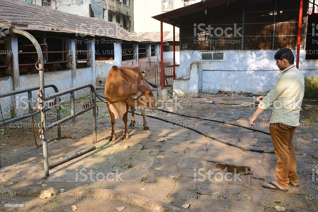 Indian cow in Mumbai stock photo