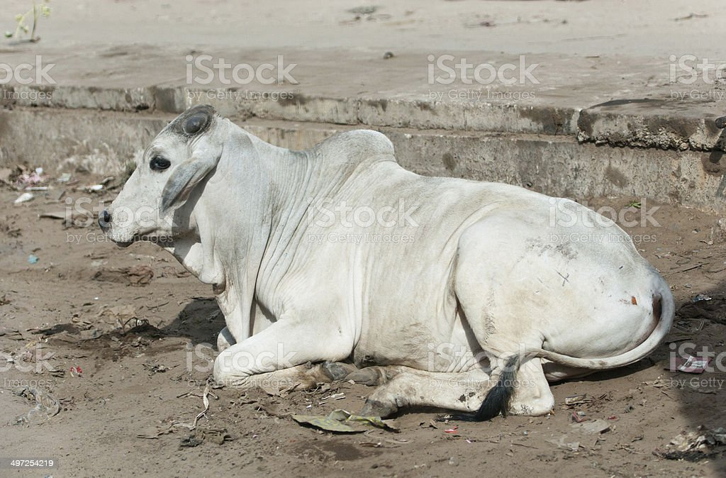 indian cow lying in the garbage on a pavement stock photo