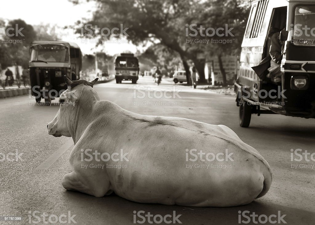 Indian Cow stock photo