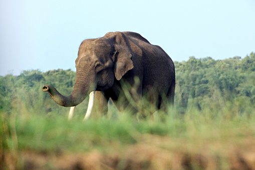 indischer elefant in kabini nagarhole karnataka stockfoto