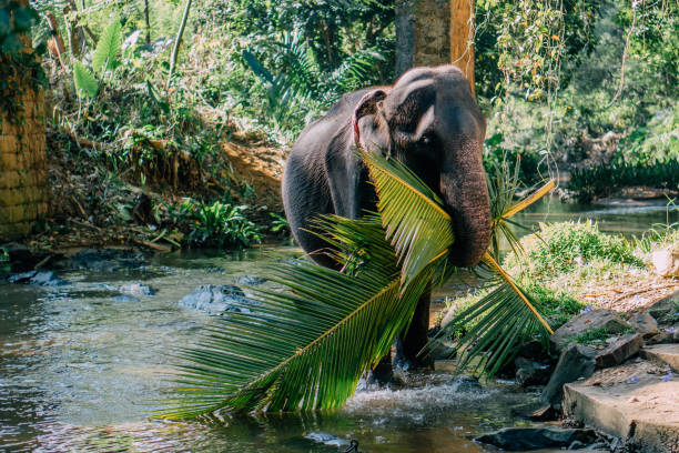 Indian elephant carries palm leaves in its mouth stock photo