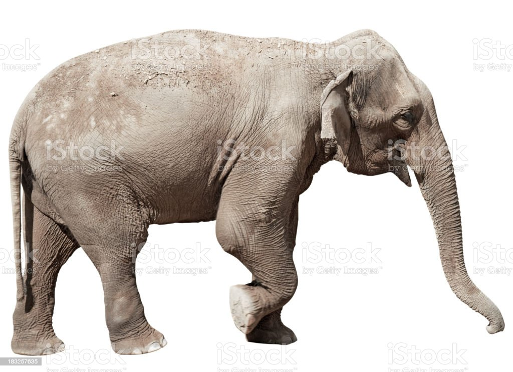 Indian Elephant isolated with clipping path on white background royalty-free stock photo