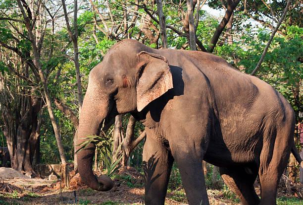 Elefante indiano - foto de acervo