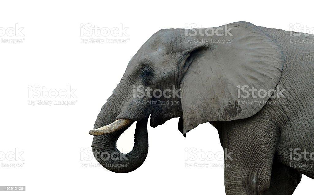 Indian elephant stock photo