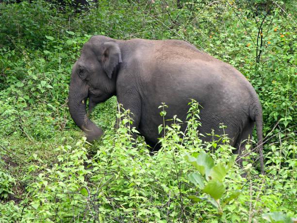 Indischer Elephant  – Foto