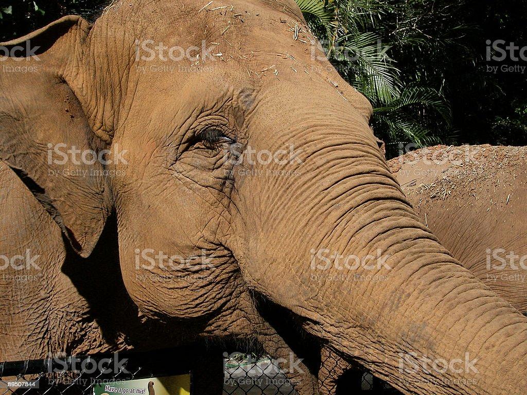 Indian Elephant Steve Irwin's Australia Zoo royalty-free stock photo