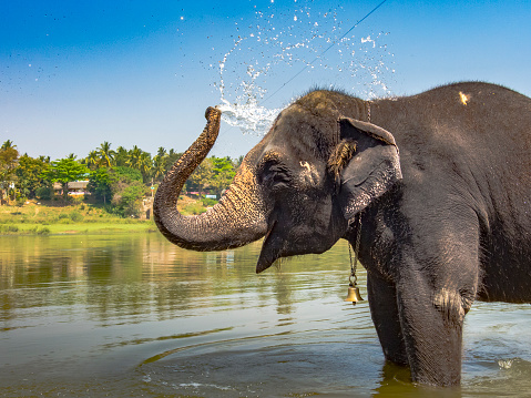Indian Elephant Taking A Bath And Spraying Water Stock