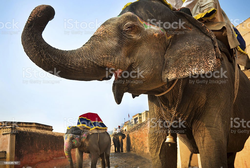 Indian elephants in Jaipur stock photo