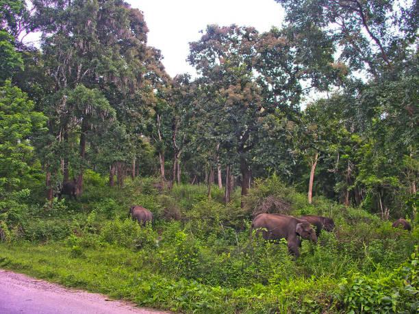 Indische Elefanten  – Foto