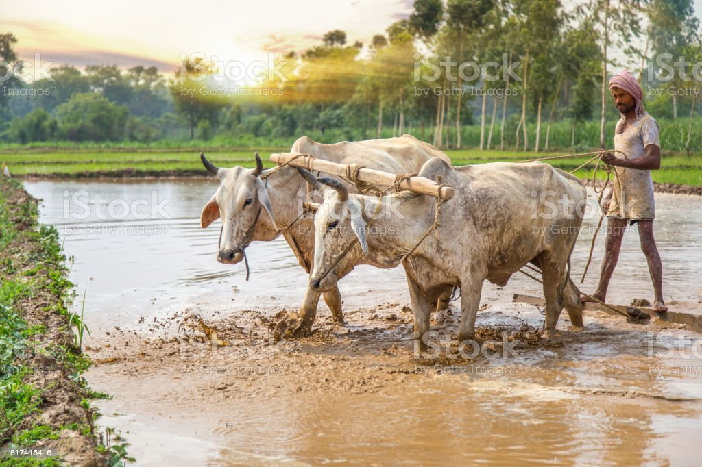 Indian farmer cultivates rice paddy field, using the power of the oxen. stock photo