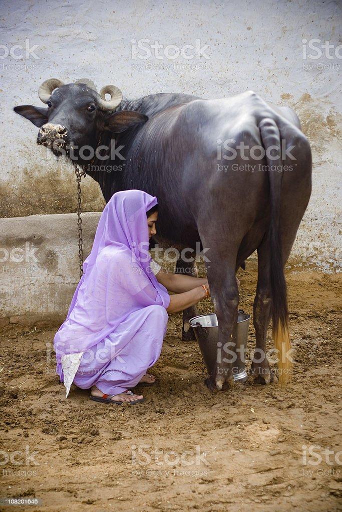 Indian Female Milking Buffalo royalty-free stock photo
