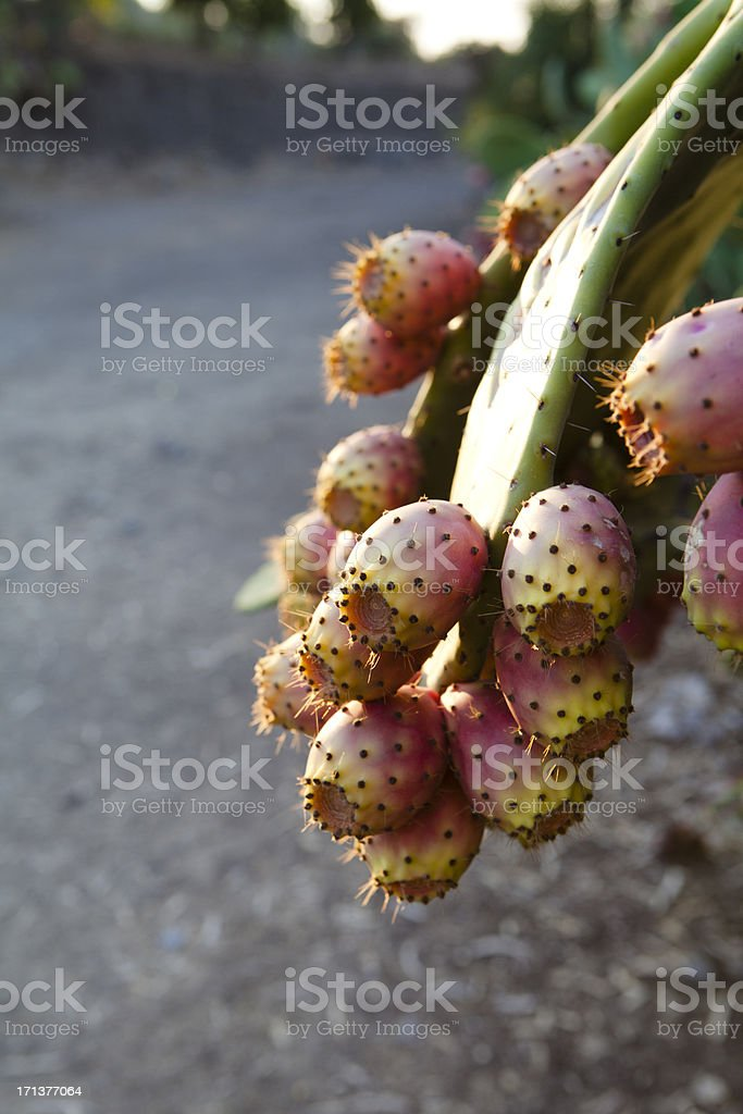 Indian Figs on Plant royalty-free stock photo