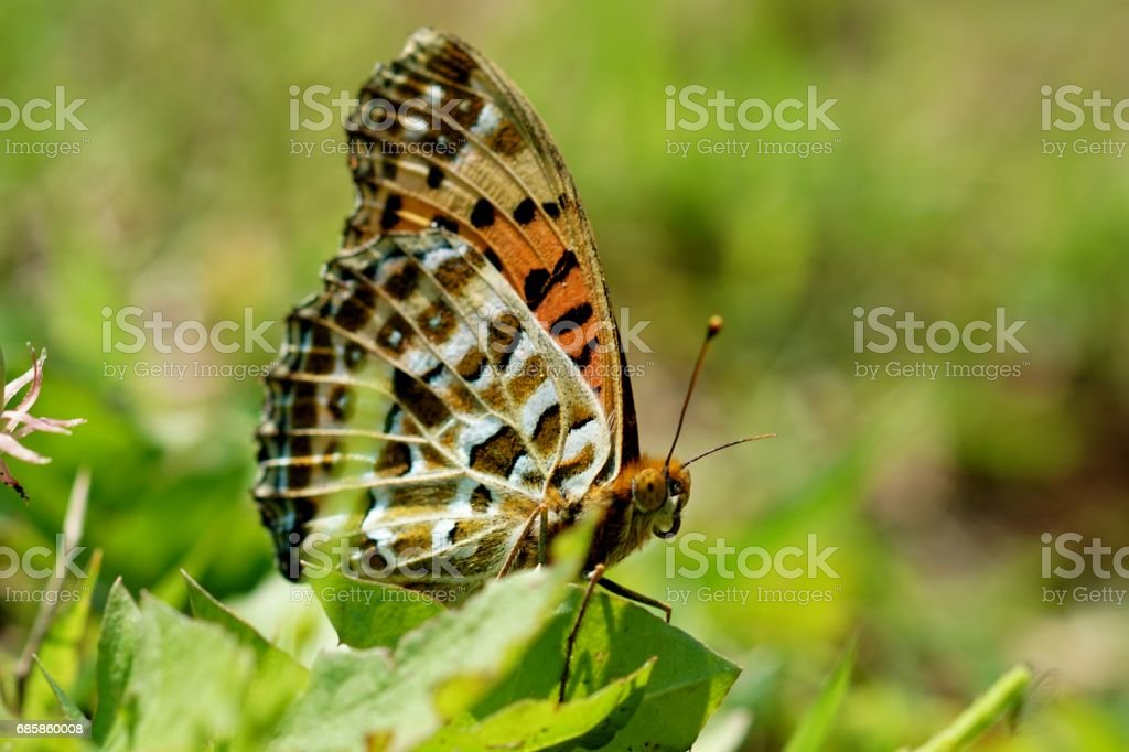 Indian Fritillary Butterfly stock photo
