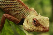 Indian garden lizard reptile species found on green plant.