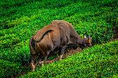 Indian Gaur Eating At Tea Estate, Tamilnadu, India