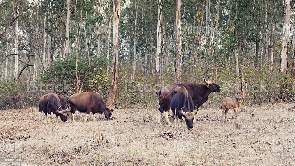 Indian gaur stock photo