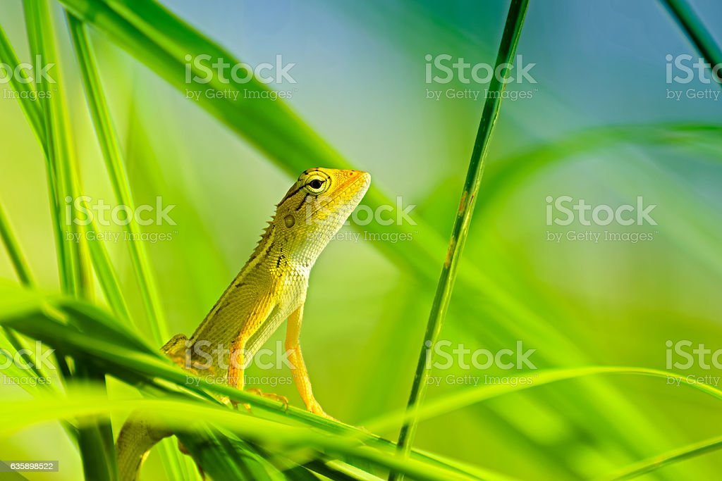 Indian gecko inside a bush looking out – Foto
