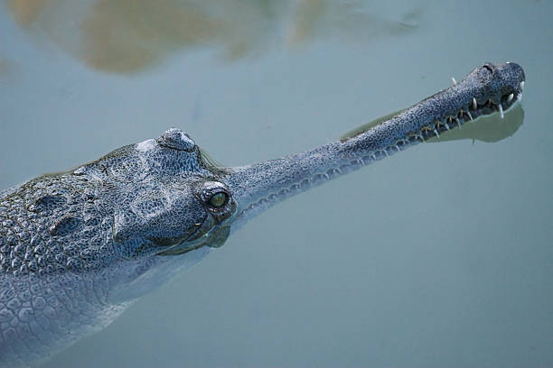 Indian gharial Crocodile stock photo