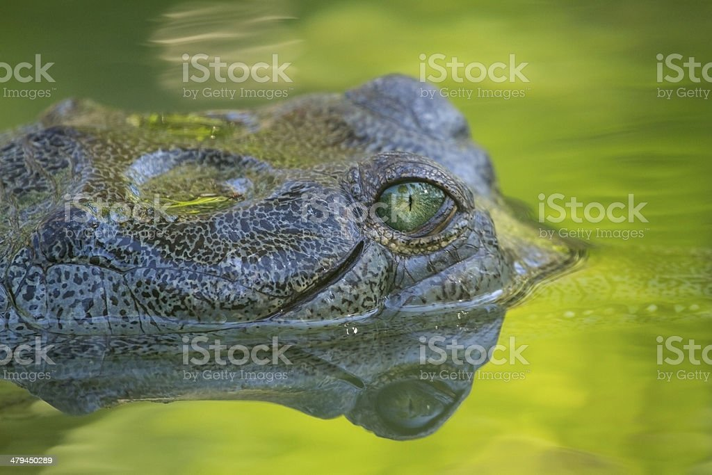 Indian Gharial (Gavial) Eye Looking at You stock photo