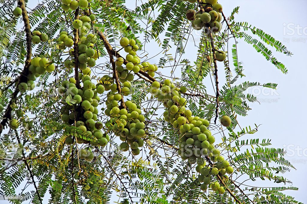 Indian Gooseberry Growing in Tree stock photo