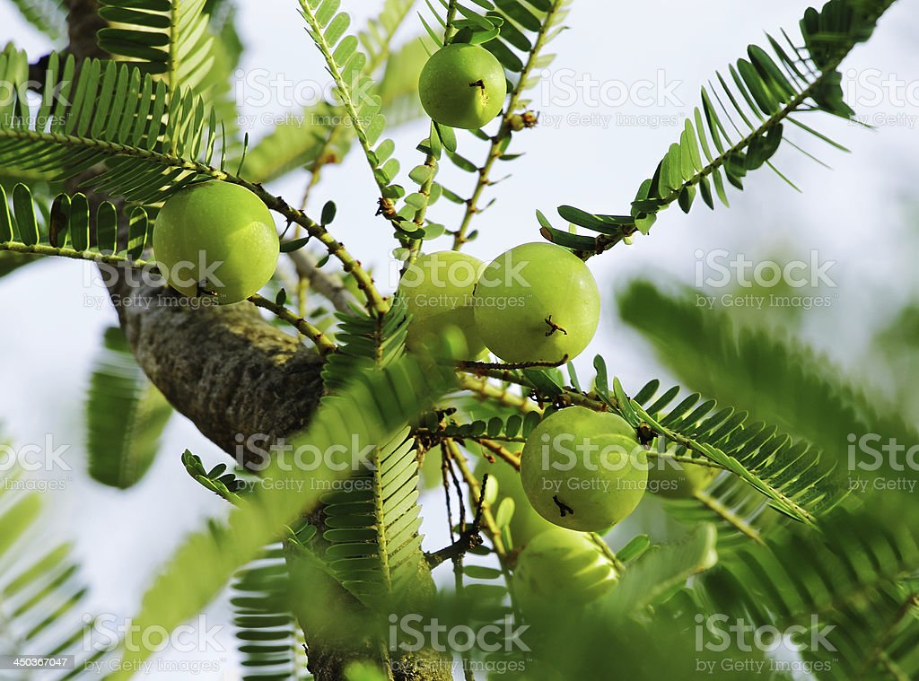 Indian Gooseberry, Phyllanthus Emblica stock photo