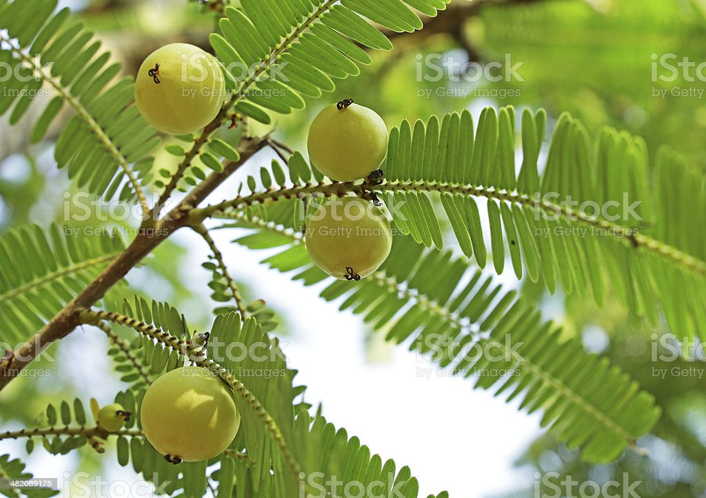 Indian Gooseberry, Phyllanthus Emblica stock photo