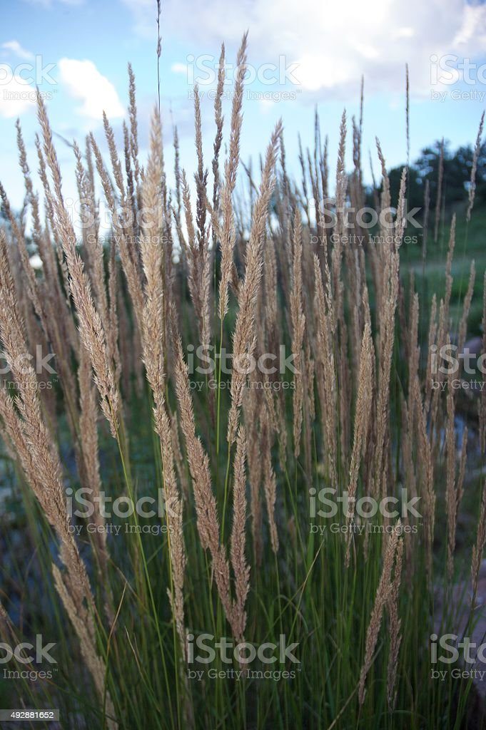 Indian Grass Against a Beautiful Blue Sky stock photo
