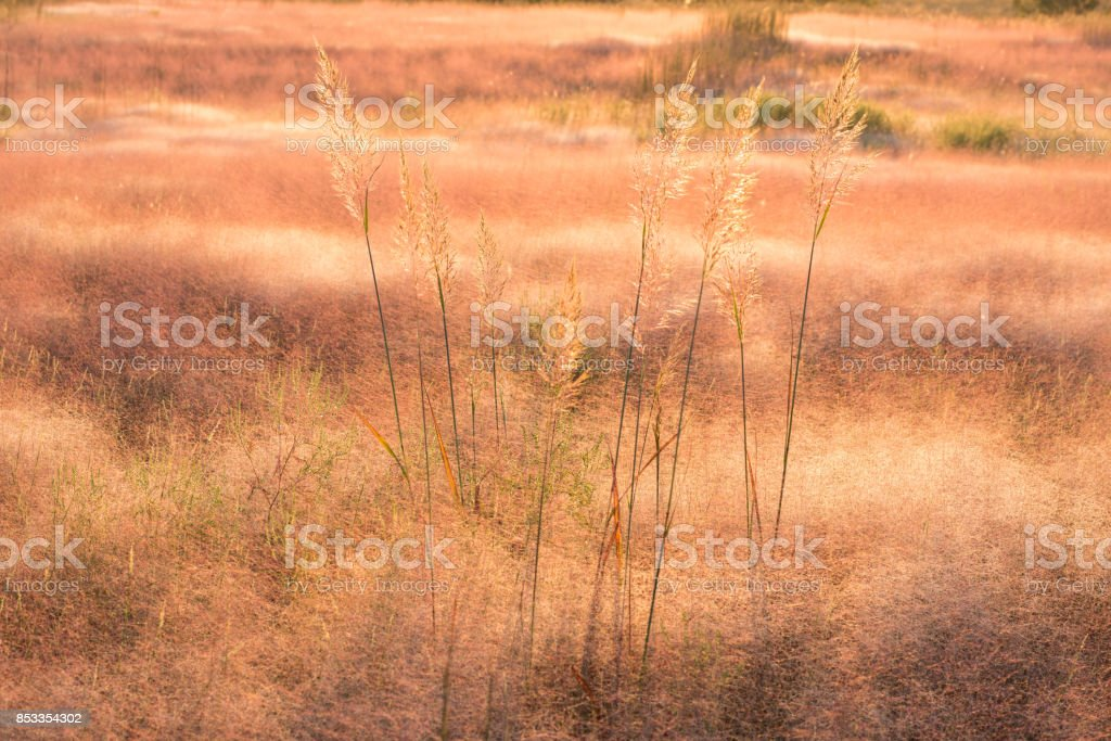 Indian Grass (Sorghastrum nutans) in a Sea of Muhly Grass (Muhlenbergia asperifolia), #1, Oklahoma stock photo