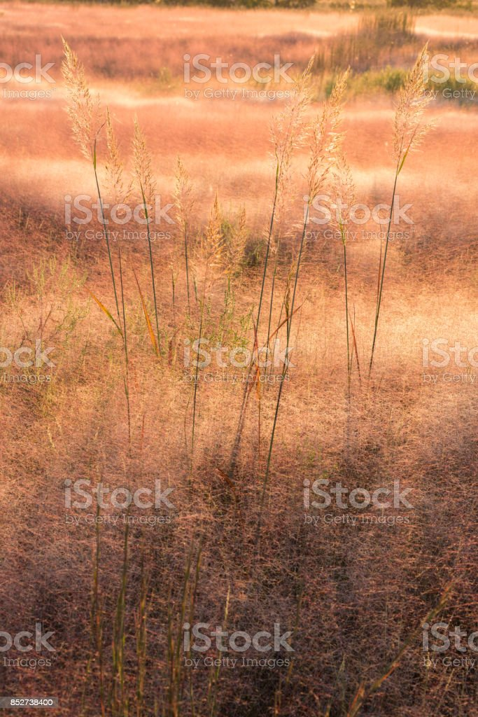 Indian Grass (Sorghastrum nutans) in a Sea of Muhly Grass (Muhlenbergia asperifolia), #2, Oklahoma stock photo