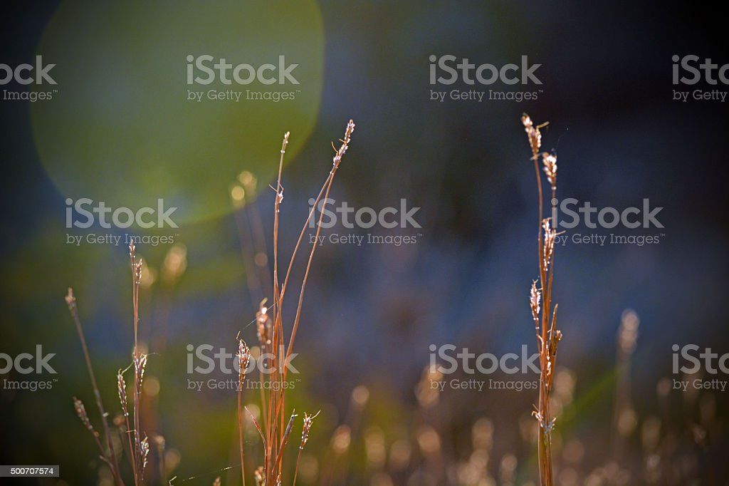Indian Grass stock photo
