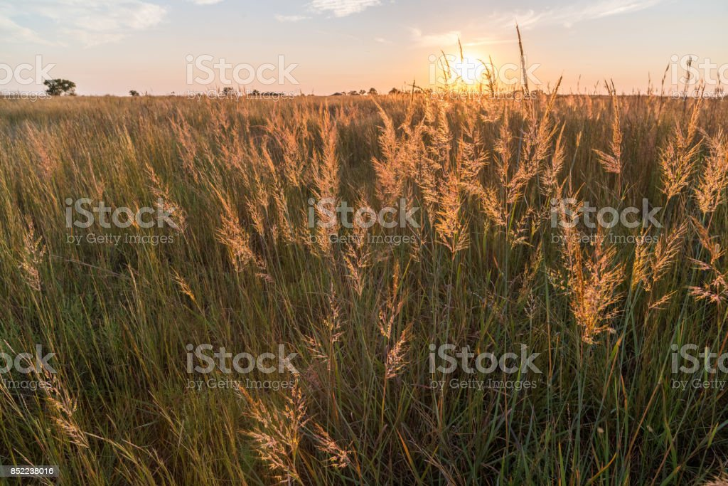 Indian Grass (Sorghastrum nutans) Sunset, #1, Oklahoma stock photo