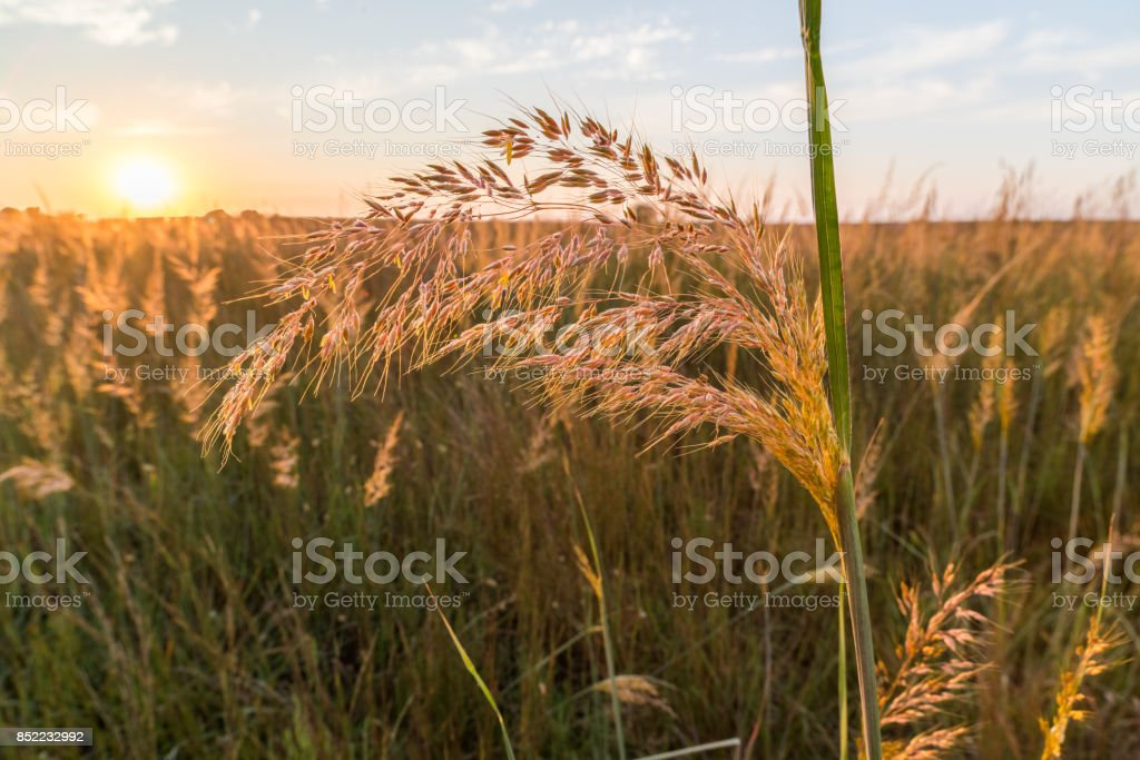 Indian Grass Sunset (Sorghastrum nutans), #2, Oklahoma stock photo