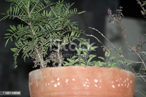 A photo of Indian green plant with plant container.