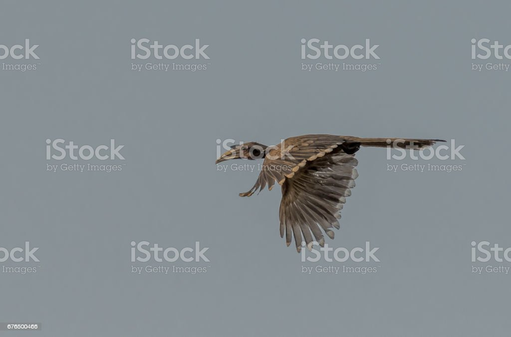 Indian Grey Hornbill In-Flight stock photo