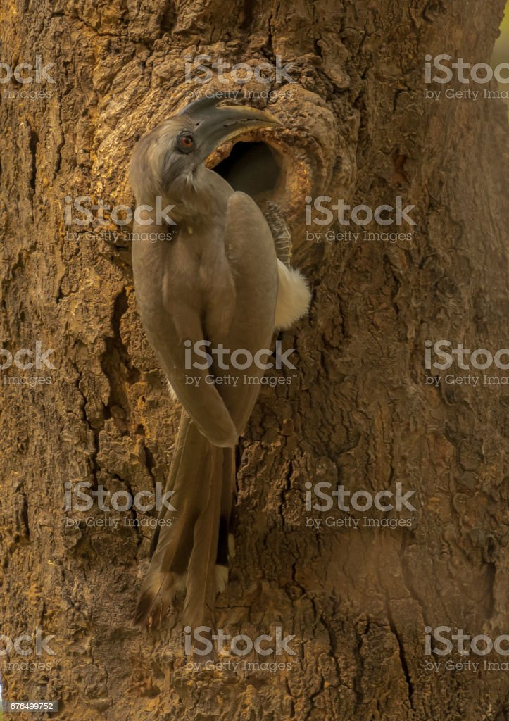Indian Grey Hornbill Nesting stock photo